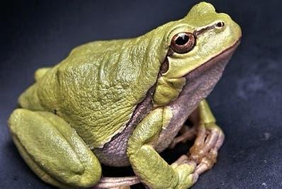 Las ranas del grupo al que se aplicó desarrollaron huesos.