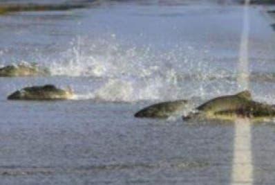 Una inundación desplazó a muchos peces