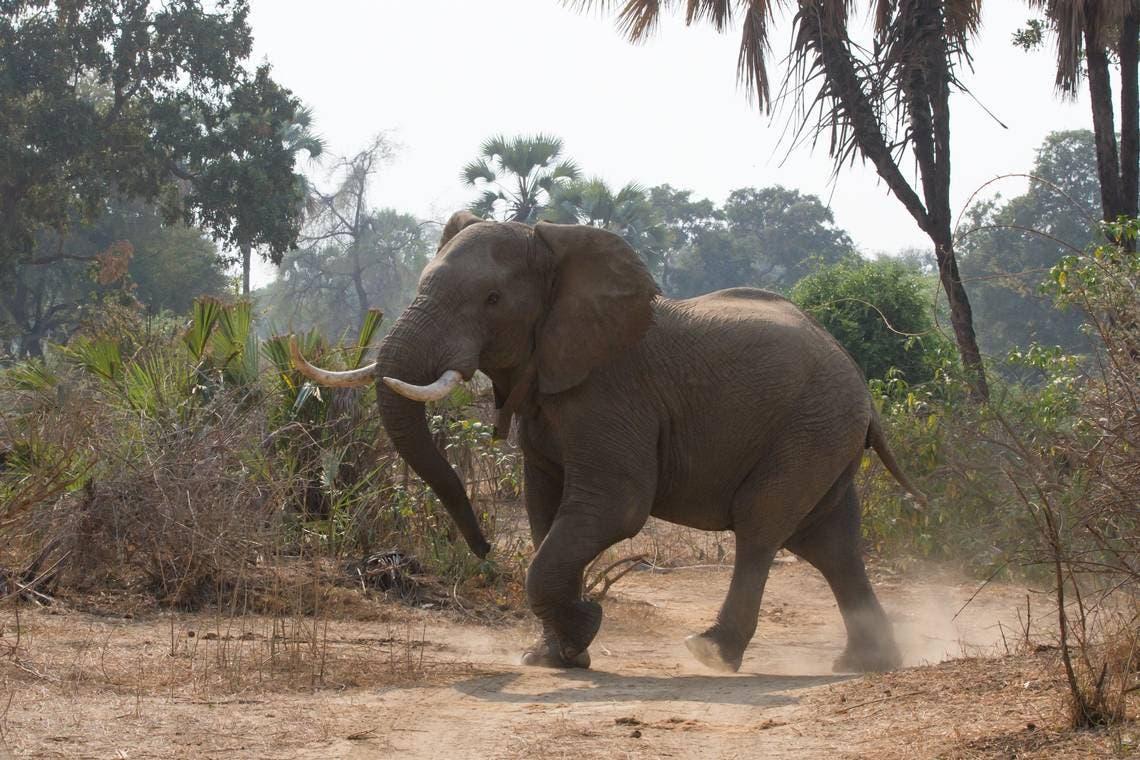 El elefante fue guiado de regreso al parque, donde lo vigilan los guardaparques.