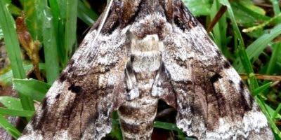 Pseudosphinx transformada en mariposa.