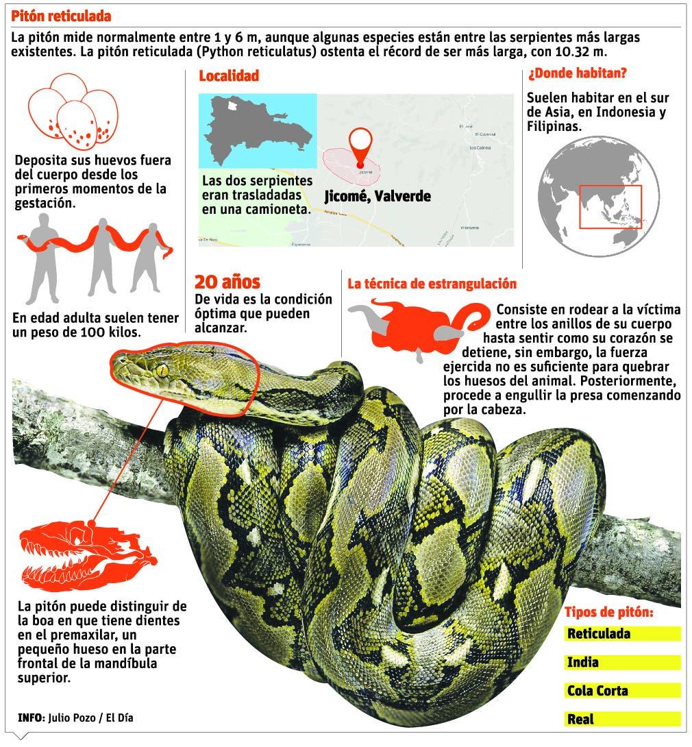 info-piton-reticulada