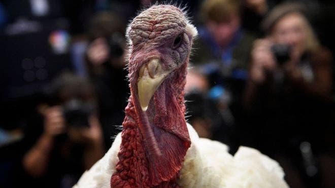 El pavo es el animal protagonista de la fiesta de Acción de Gracias en Estados Unidos.