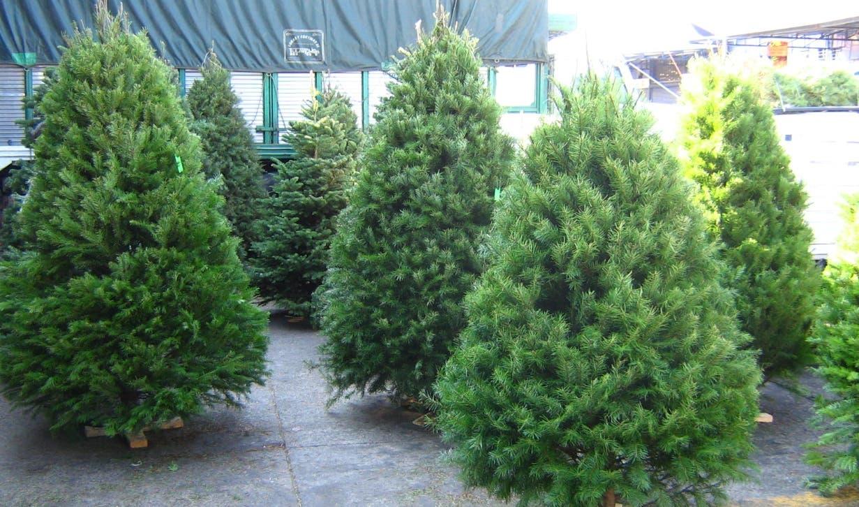 El pino es el árbol que simboliza parte de la tradición de Navidad