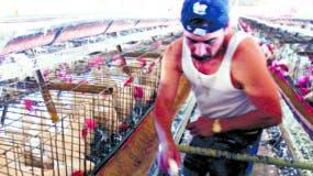 En el país  existen 18 gallinas  reproductoras livianas o gallinas madres.   Archivo.