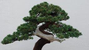Los bonsáis pueden vivir durante siglos.