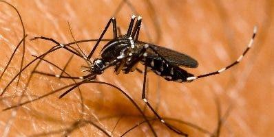 Mosquito Aedes aegipty.  agencia
