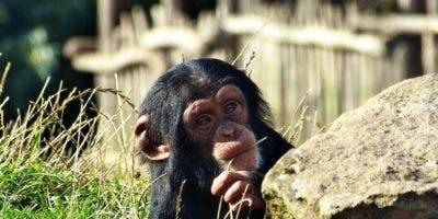 monos-chimpacés-inteligencia animal