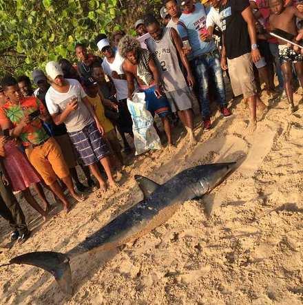 tiburon-en-sosua-se-convierte-en-atraccion-hasta-ser-sacado-del-agua-por-un-grupo-de-jovenes-3