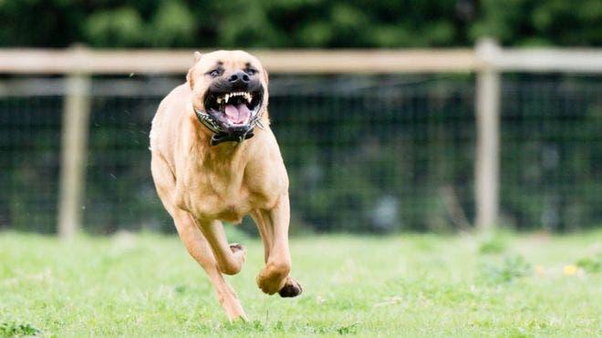 Conozca cuáles son los perros más peligrosos para los niños