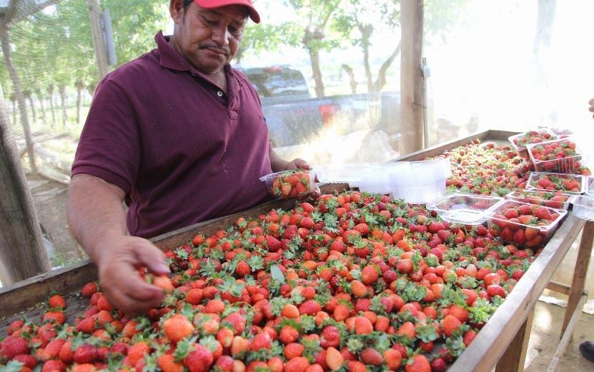 Se pretende triplicar la producción de fresas.  fuente externa