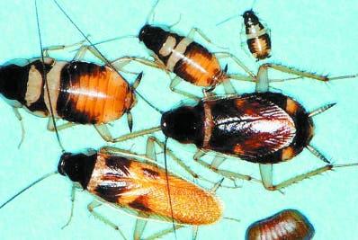 Las cucarachas son una amenaza para los seres humanos.