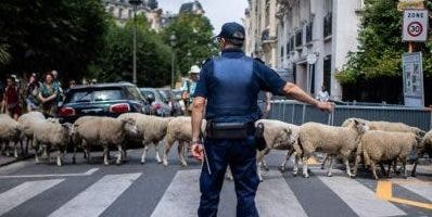 Guiado por dos pastores, el rebaño estuvo vigilado.