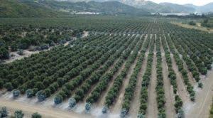 """Vista aérea de la plantación de aguacate tipo """"Hass"""" en la comunidad El Calimete, en Elías Piña."""