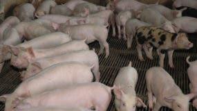 Las autoridades buscan que el país pueda exportar carne de cerdo.