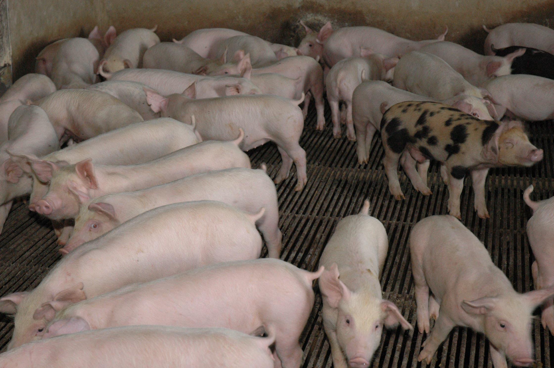 Experto dice debilidades cuarentenarias facilitaron introducción al país de peste porcina africana