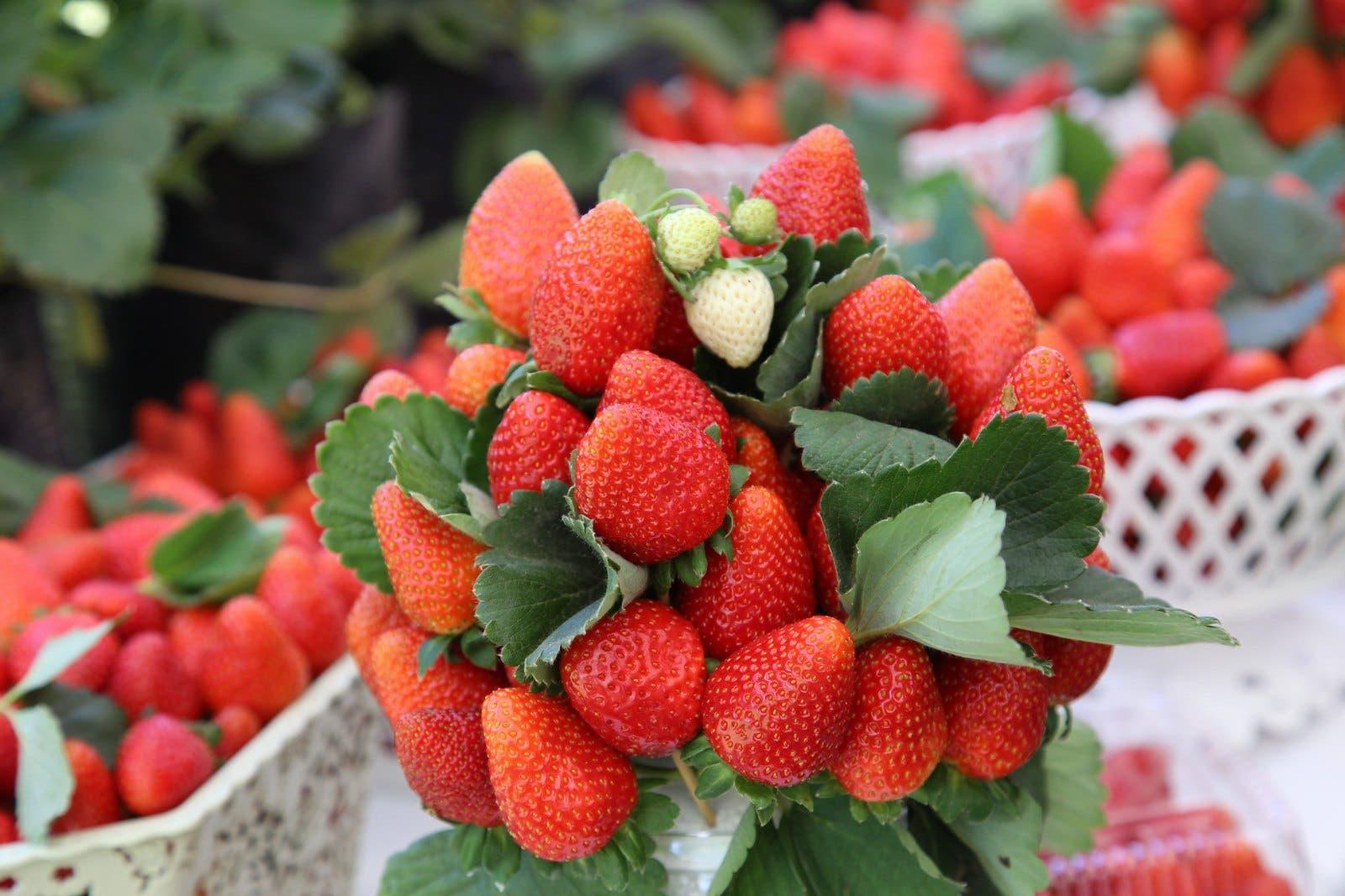 Presidente Danilo Medina promete apoyo a productores de fresas de Jarabacoa