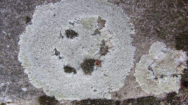 El liquen es una especie común en Australia y Nueva Zelanda donde crece de forma abundante en zonas urbanas, principalmente en carreteras y pavimentos.