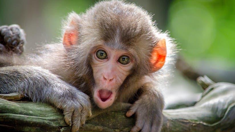 VIDEO: Un mono cierra el grifo después de beber agua y da una lección a los humanos
