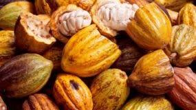 El cacao está entre los cinco productos que van a exportar.
