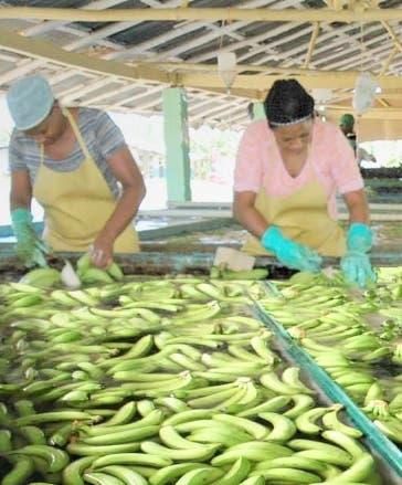 Inespre vende hoy plátanos a siete pesos y a RD$2.5 guineo