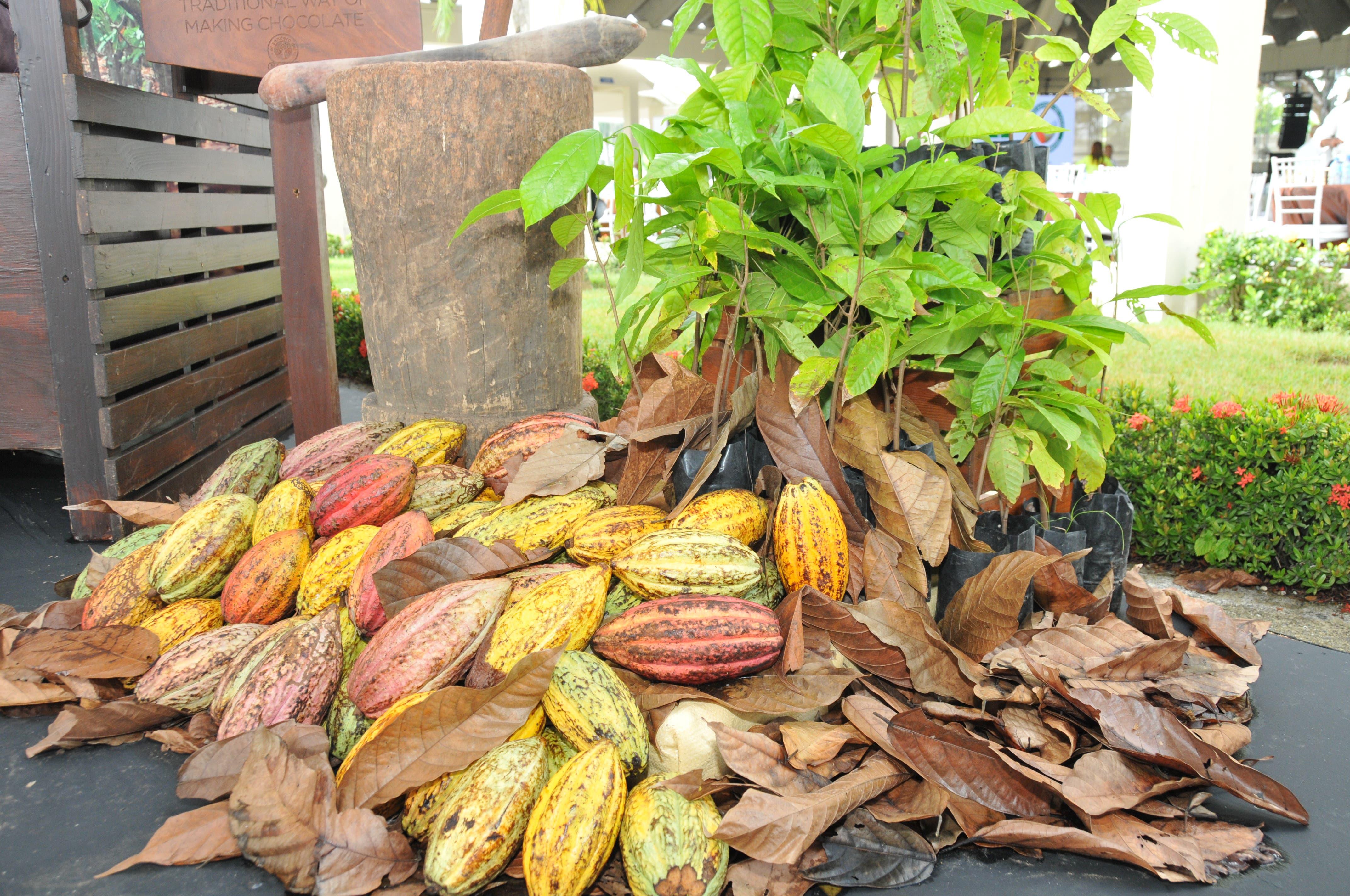 Exportaciones de cacao  alcanzan los 195 millones de dólares este año