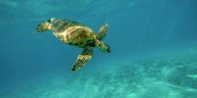 tortugas-marinas-victimas-petroleo-brasil_15113165