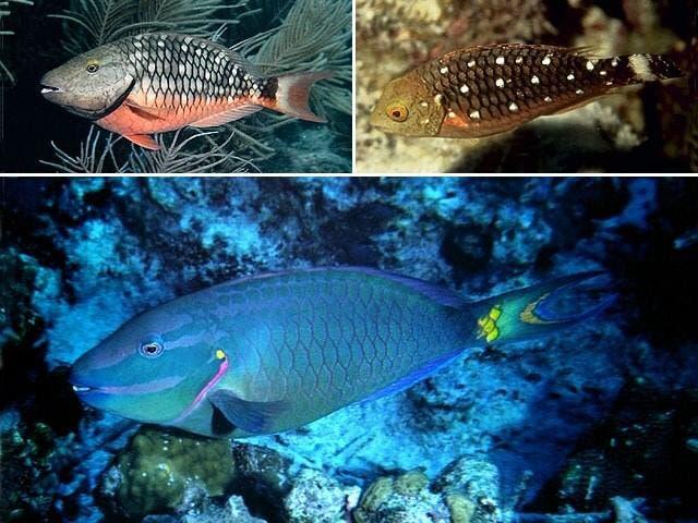 Medio Ambiente prohíbe captura y comercialización de los peces loros