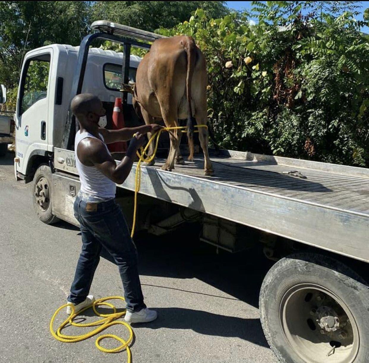Arrestan vaca que deambulaba en las calles de San Cristóbal