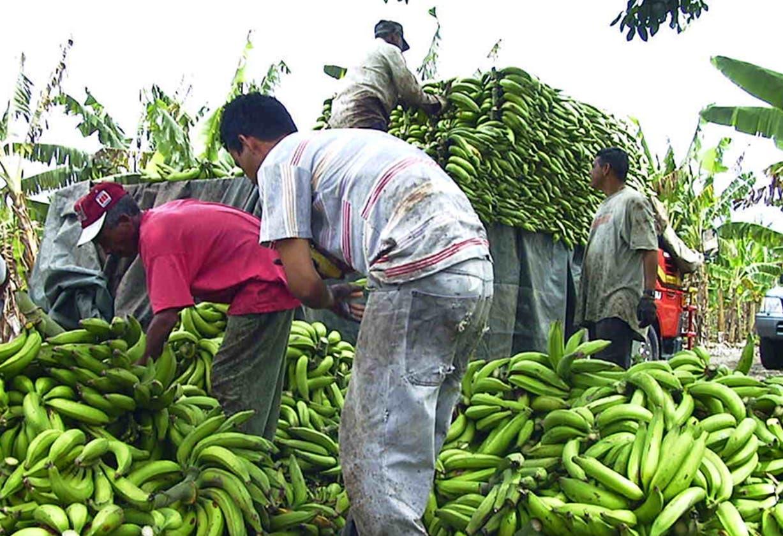 La sobreproducción de plátanos provocará una reducción en su precio