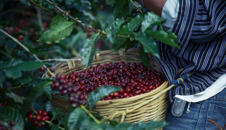 El Día Nacional del Café, ¿cómo encuentra a la industria en RD?