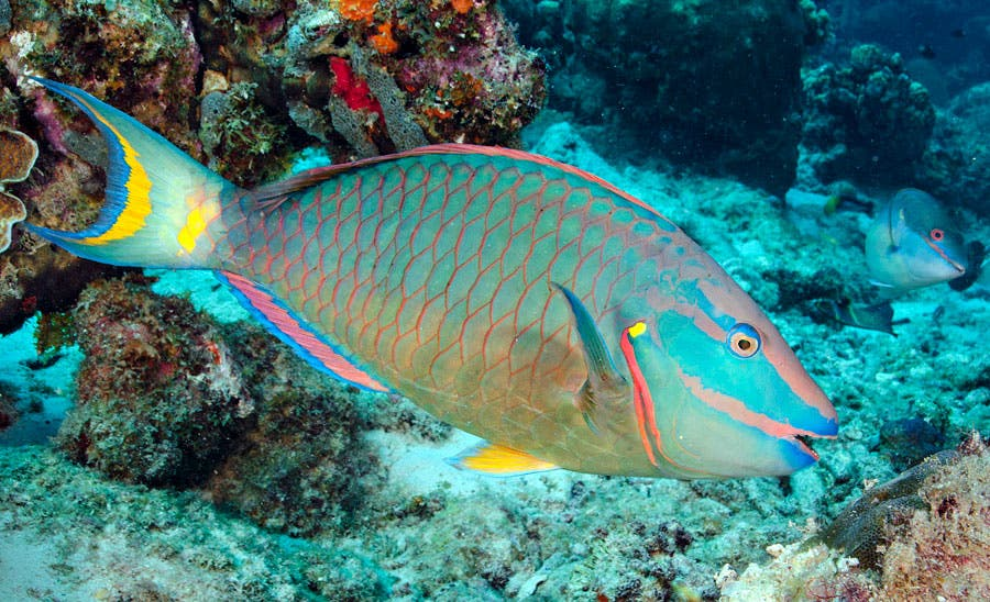 Poder Ejecutivo establece veda de peces loros, pepinos y anguilas