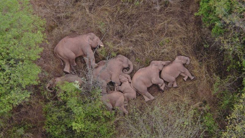 La extraordinaria imagen del descanso que se tomó la manada de elefantes que ha viajado 500 kilómetros por el sur de China