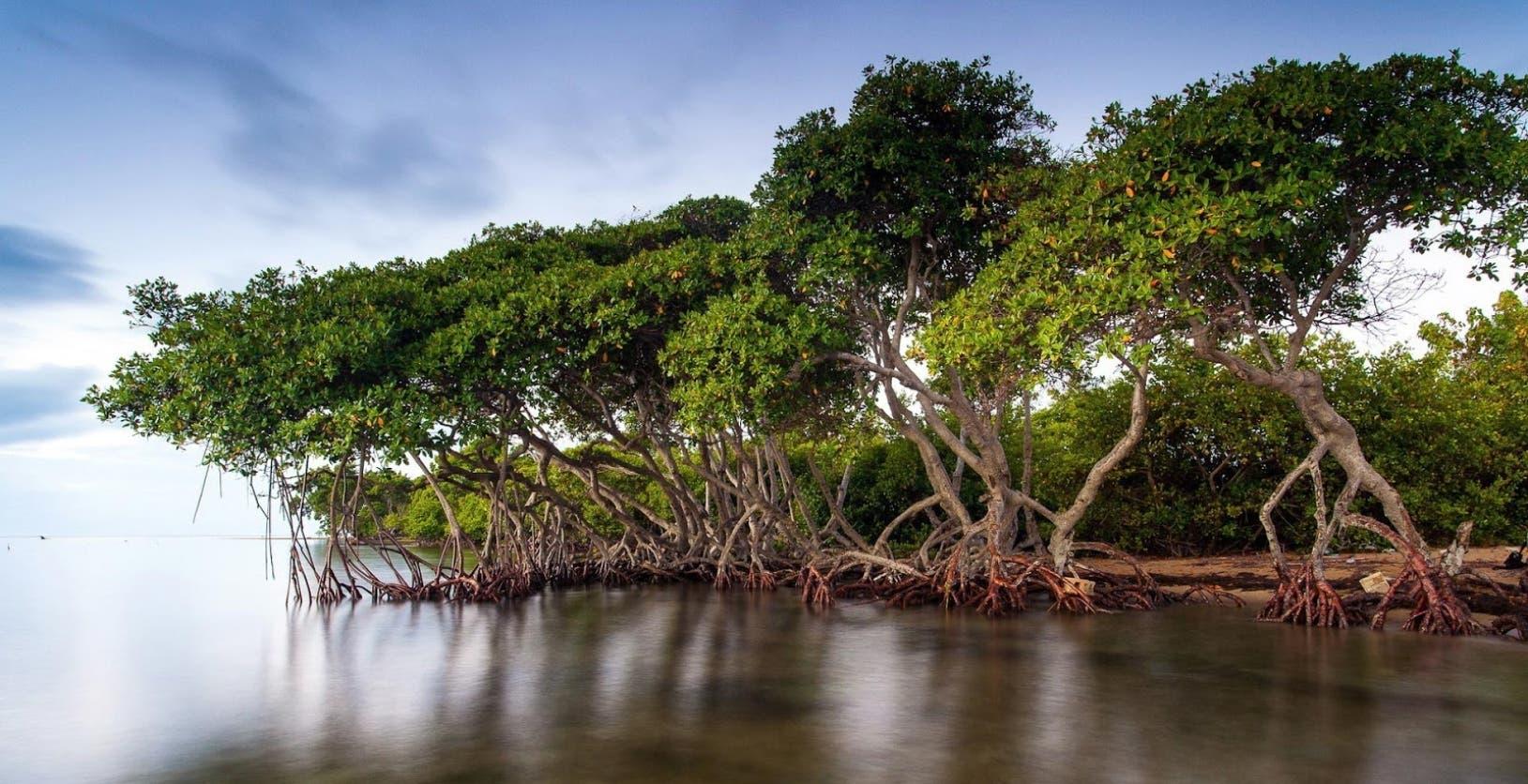 'Zancos'  de manglares  atraen a turistas y juegan relevante rol