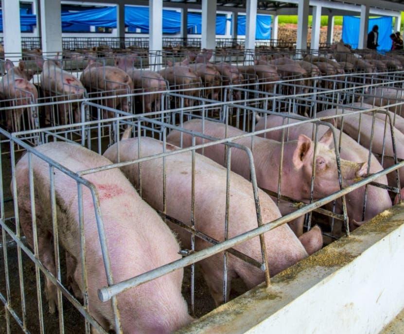 Los casos de  la fiebre porcina no representan pérdidas a productores