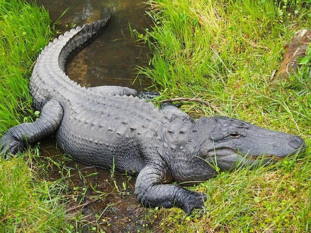 Un hombre de Florida herido de gravedad tras ser atacado por un caimán