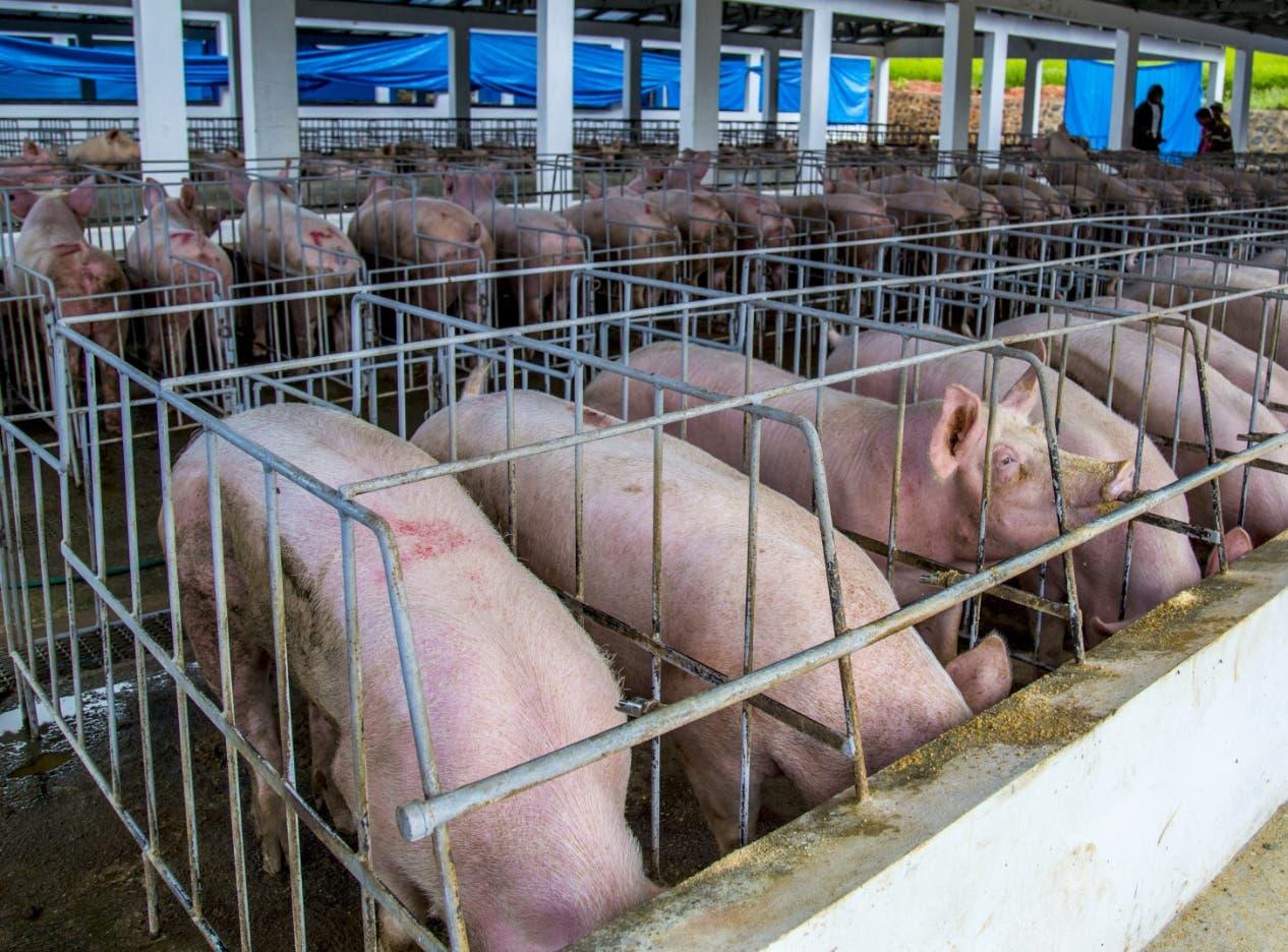 País cuenta pruebas hallar fiebre porcina
