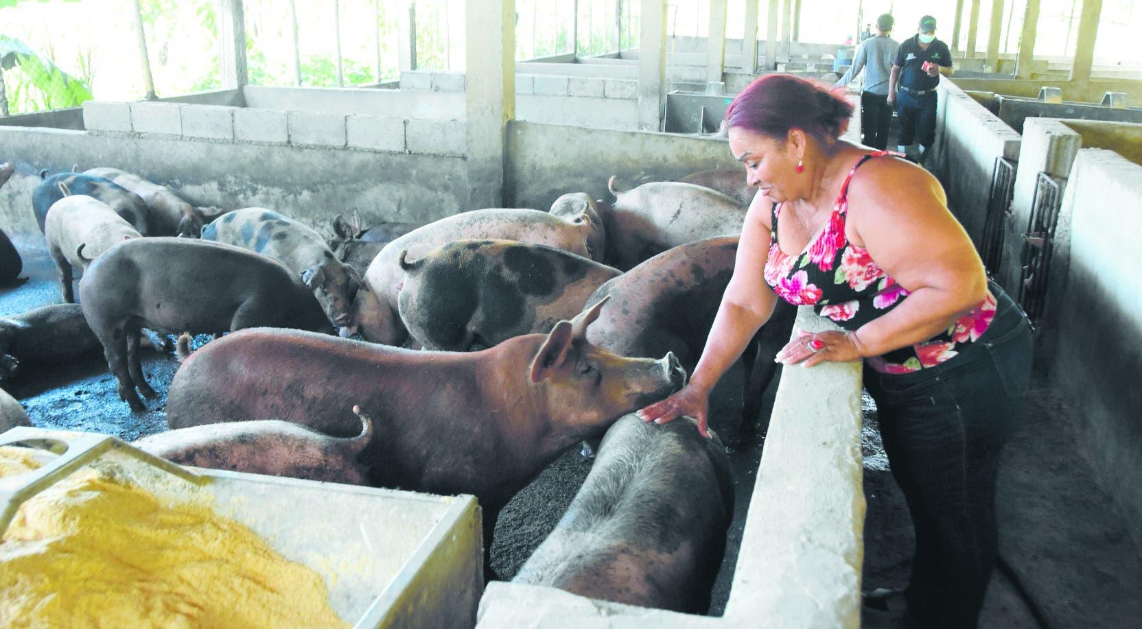 Fiebre porcina: Productores no saben cuánto les pagará el Gobierno por sacrificar animales