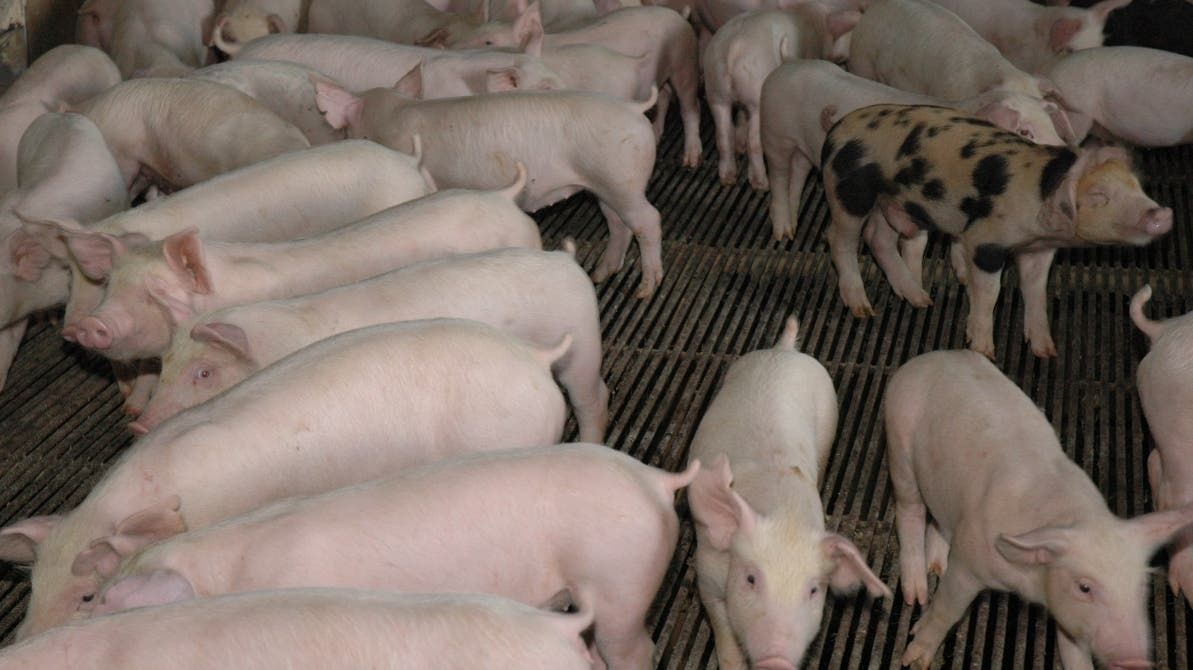 Gobierno pignorará y almacenará cerdos