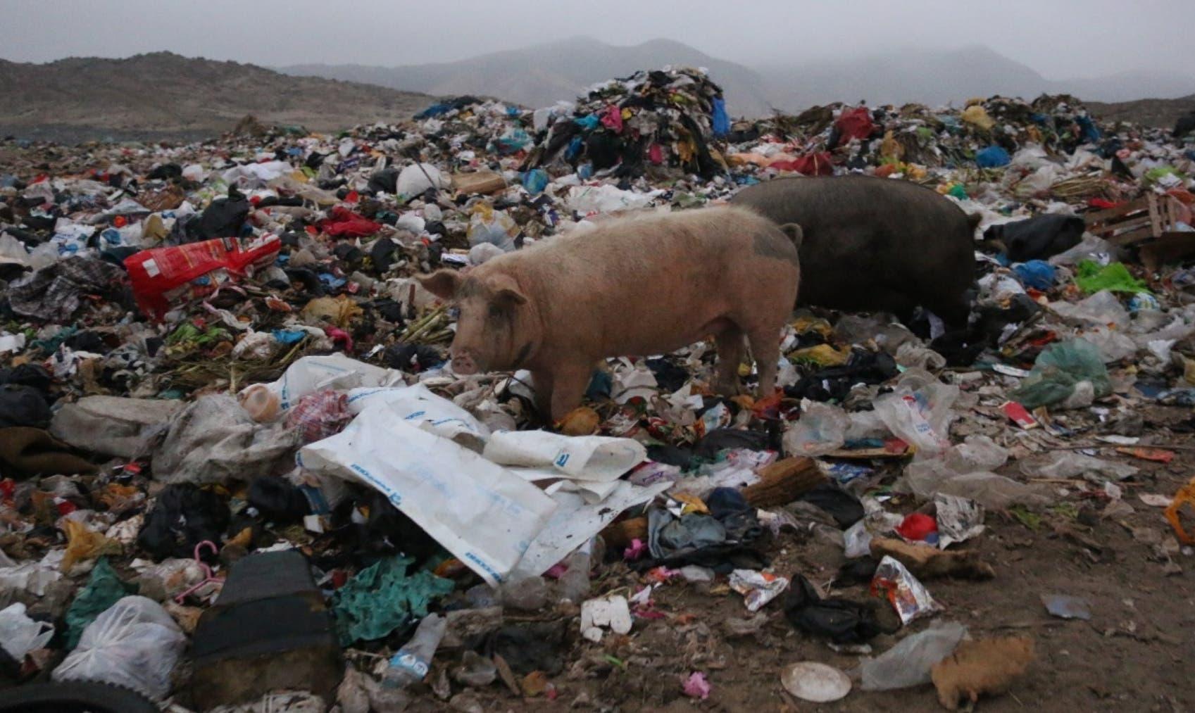 Granjas de patio serán eliminadas para enfrentar la fiebre porcina
