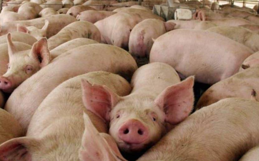 Aseguran carne de cerdo que llega al mercado es inofensiva y sana para el consumo humano