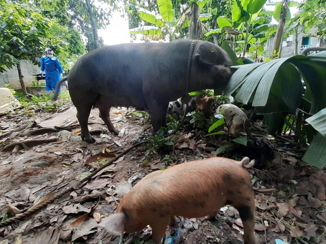 Gobierno garantiza compensación económica para porcicultores cuyos cerdos sean sacrificados