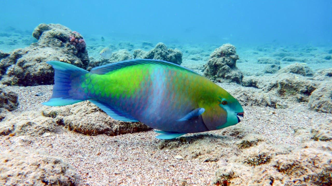 Este martes vence periodo para comercialización de pez loro y otras especies vedadas por decreto