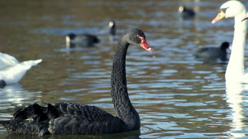 Por qué a los eventos inesperados se los llama «cisnes negros»