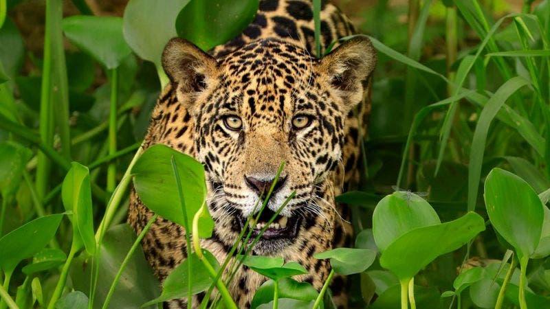 Cómo los traficantes chinos amenazan la supervivencia de jaguar, el mayor felino de América