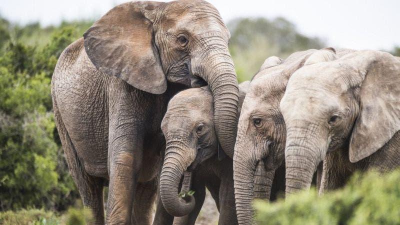 Por qué algunos elefantes en África están naciendo sin colmillos